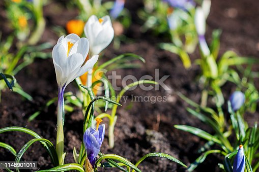 Crocus, the plural of crocuses on a homemade bed in the garden. Flowering plants of the iris family.