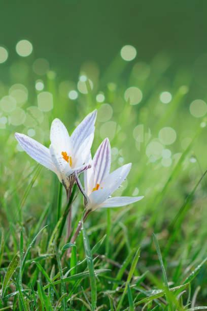 Crocus wild spring flower. stock photo