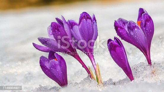 Crocuses - blooming purple flowers making their way from under the snow in early spring, closeup