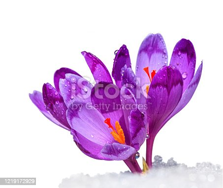 Crocuses - blooming purple flowers making their way from under the snow in early spring, isolated on white background
