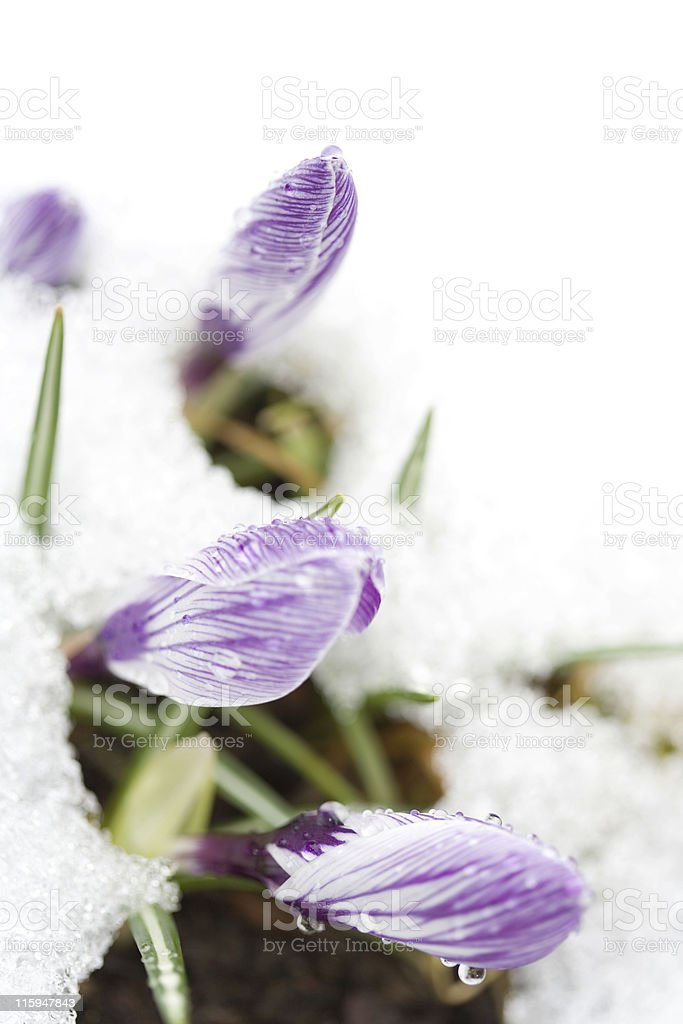 Crocuses Close-Up royalty-free stock photo