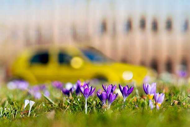 Frühlingskrokussen in der Stadt – Foto