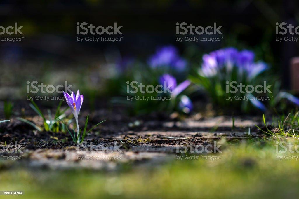 Crocuses in garden stock photo