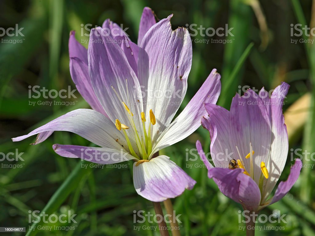Crocuses in grass royalty-free stock photo