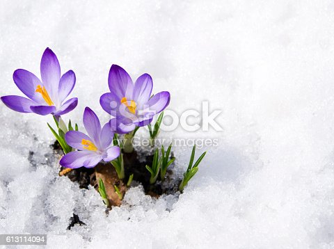 three purple crocuses in snow