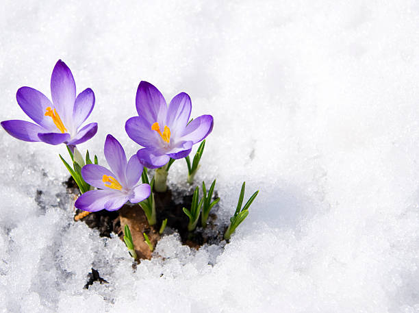 crocuses dans la neige - printemps photos et images de collection