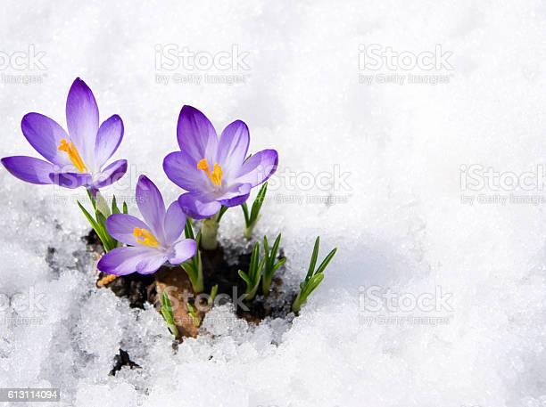 three purple crocuses in snow