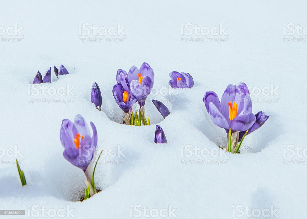 crocuses in snow stock photo
