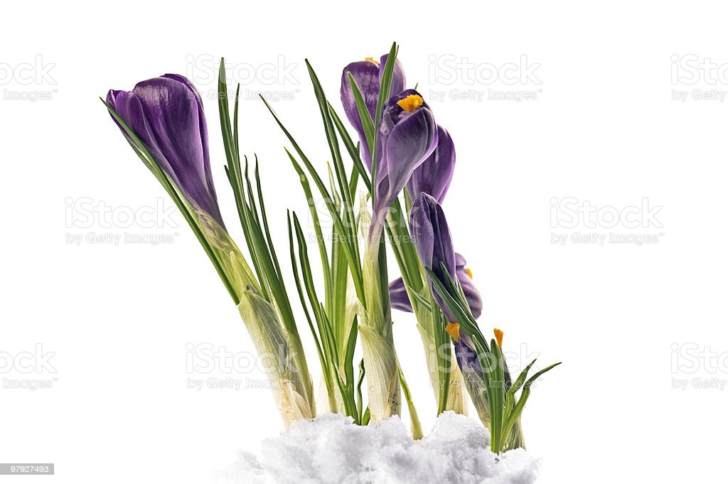 Crocuses in snow royalty-free stock photo