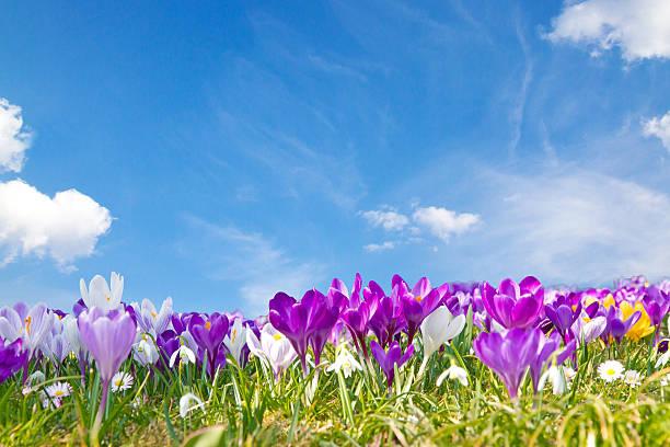 Frühlingskrokussen im Frühling – Foto