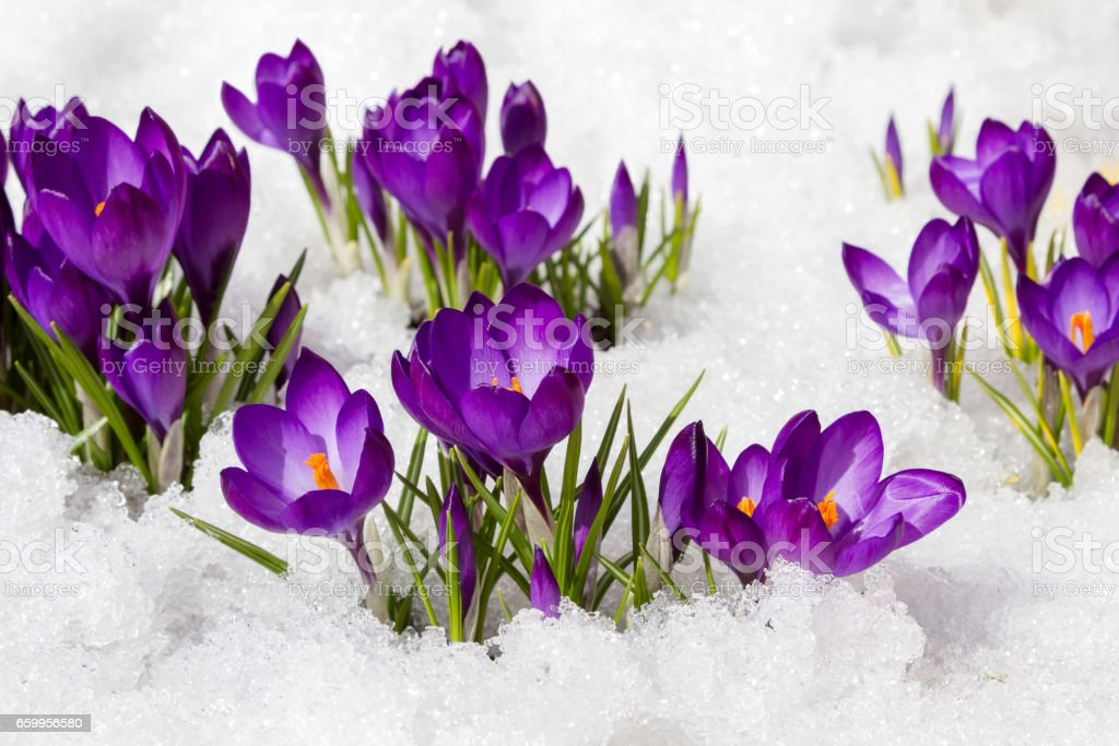 crocuses in spring stock photo