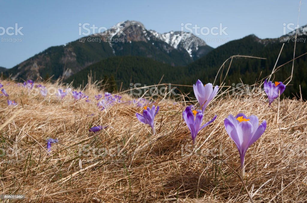 Crocuses in the Chocholowska Vally - Tatry mountains / Krokusy w Dolinie Chochołowskiej w Tatrach stock photo
