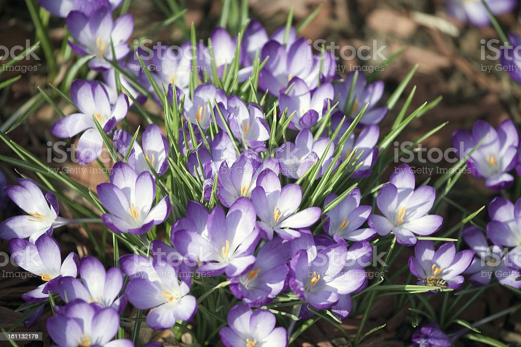 Crocuses in the garden royalty-free stock photo