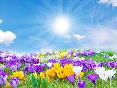 クロッカス 春の太陽