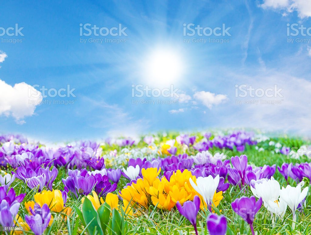Crocuses in the spring sun stock photo