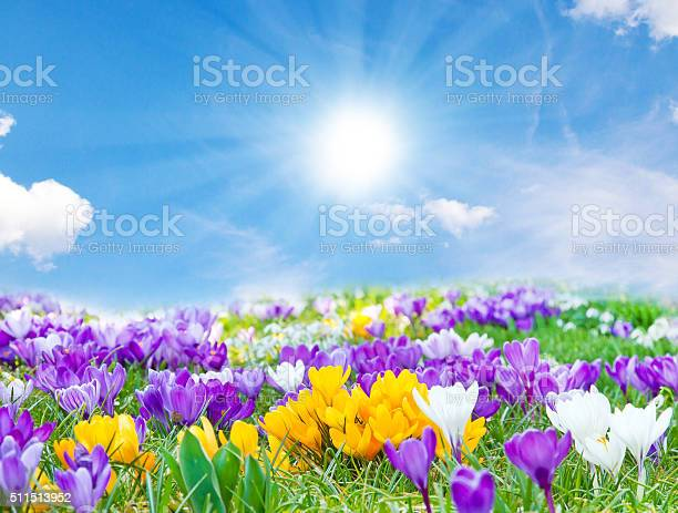 Photo of Crocuses in the spring sun