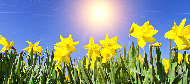 crocus dans le soleil du printemps - paysage mois de mars photos et images de collection