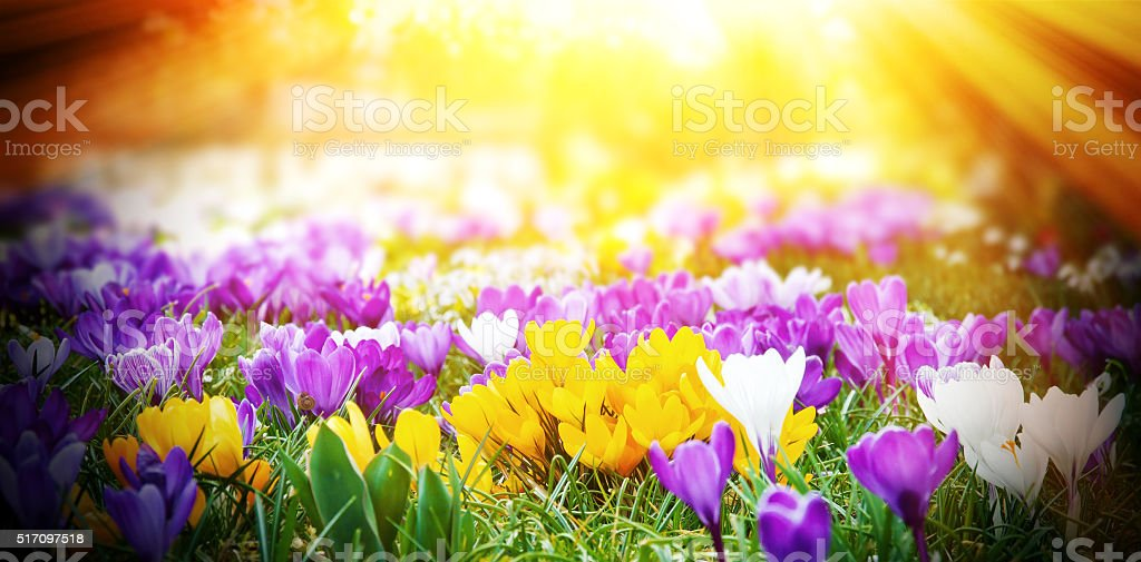 Crocuses in the sun stock photo