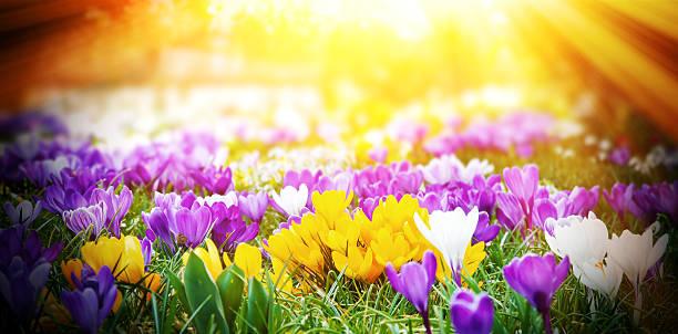 crocus au soleil - paysage mois de mars photos et images de collection