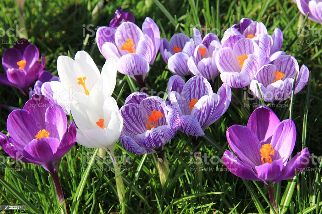 Crocuses on a field stock photo
