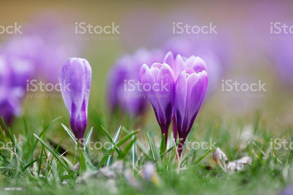Crocuses on a meadow stock photo