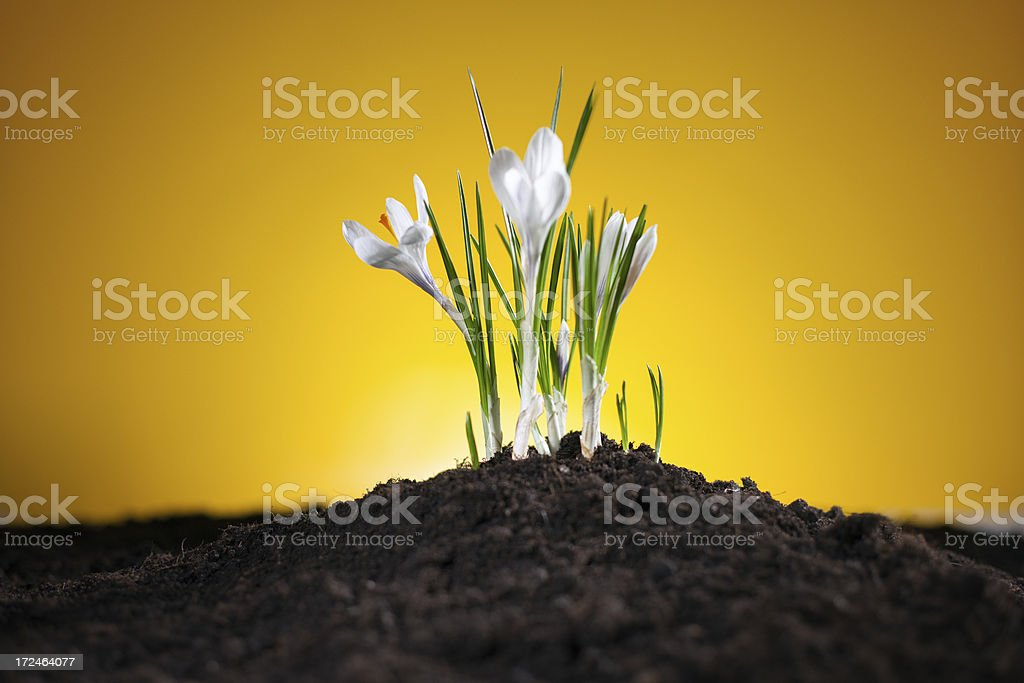 Crocuses on a yellow background royalty-free stock photo