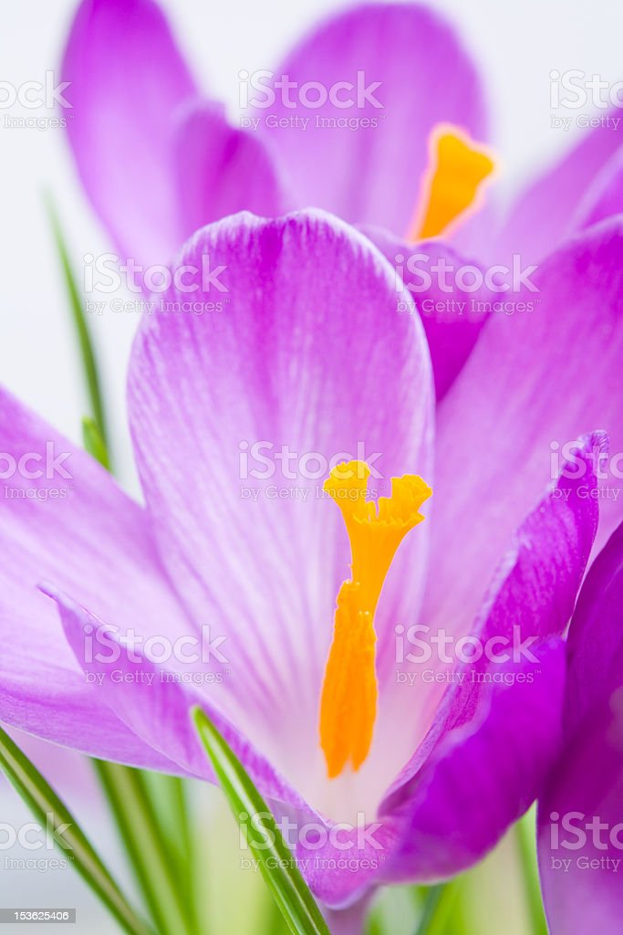crocuses royalty-free stock photo