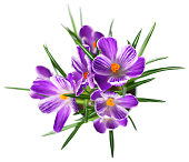 Purple crocuses, high angle view. Bunch of crocuses, isolated on white background.