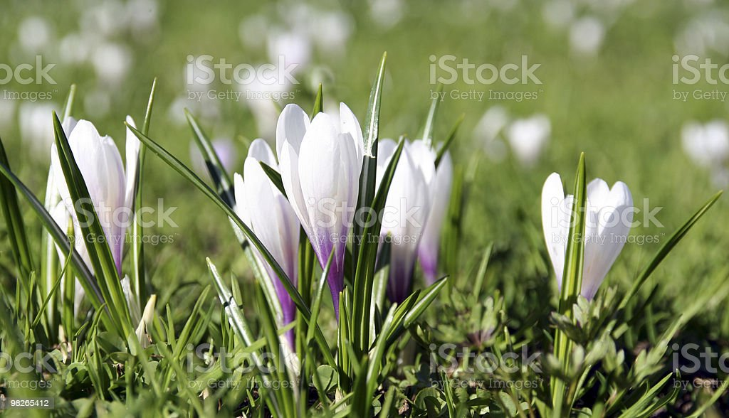 Krokusse royalty-free stock photo