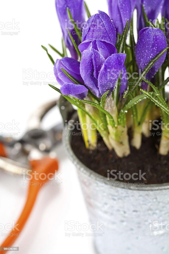 crocuses royalty-free stock photo