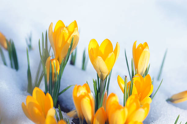 Royalty free yellow crocus flower in the snow pictures images and crocuses with snow stock photo mightylinksfo