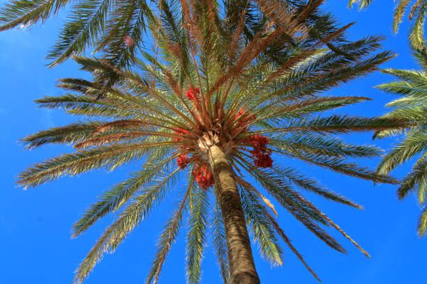 Crohn of a date palm.