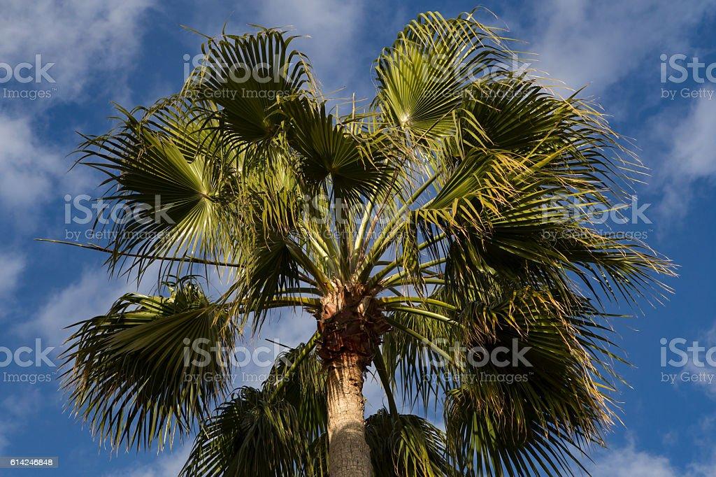 Crohn's palm against the blue sky. stock photo