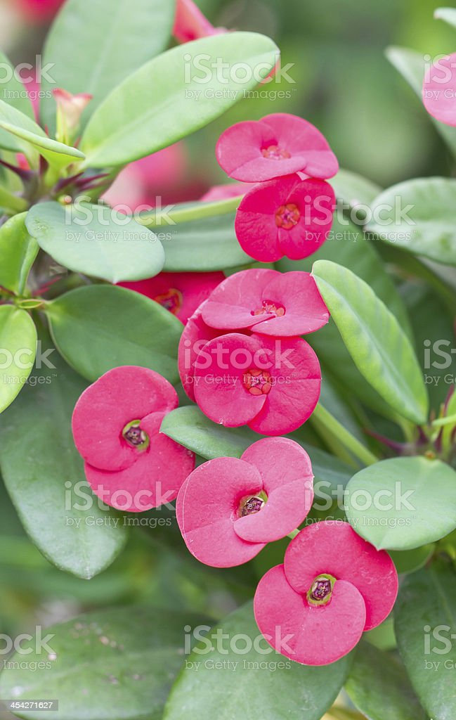 Cronw of thorns flowers. stock photo
