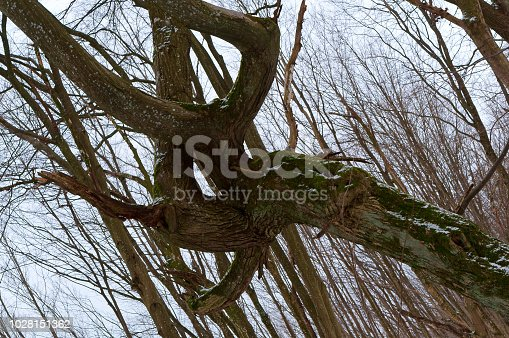 curved tree trunk, crooked branches of old tree