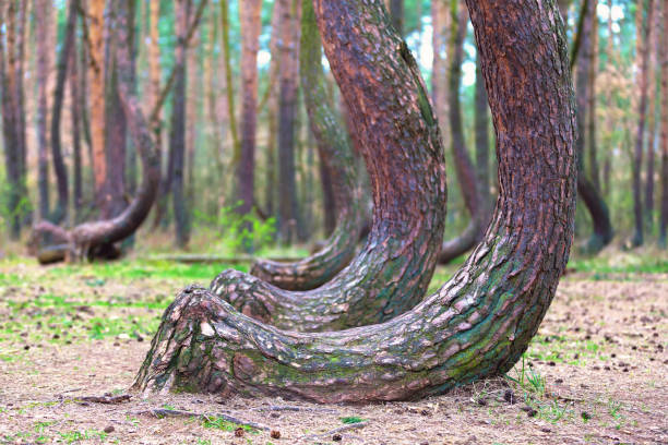 crooked forest in Gryfino in Poland stock photo