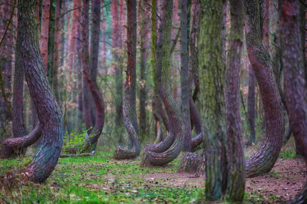 crooked forest in Poland stock photo