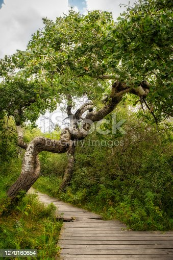 A small grove of trees growing crooked and twisted in a rural countryside summer landscape