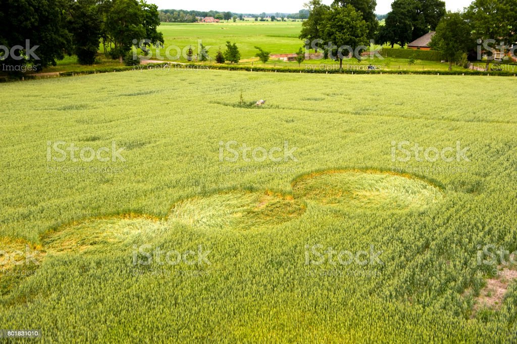 Crop circle in a wheat field stock photo