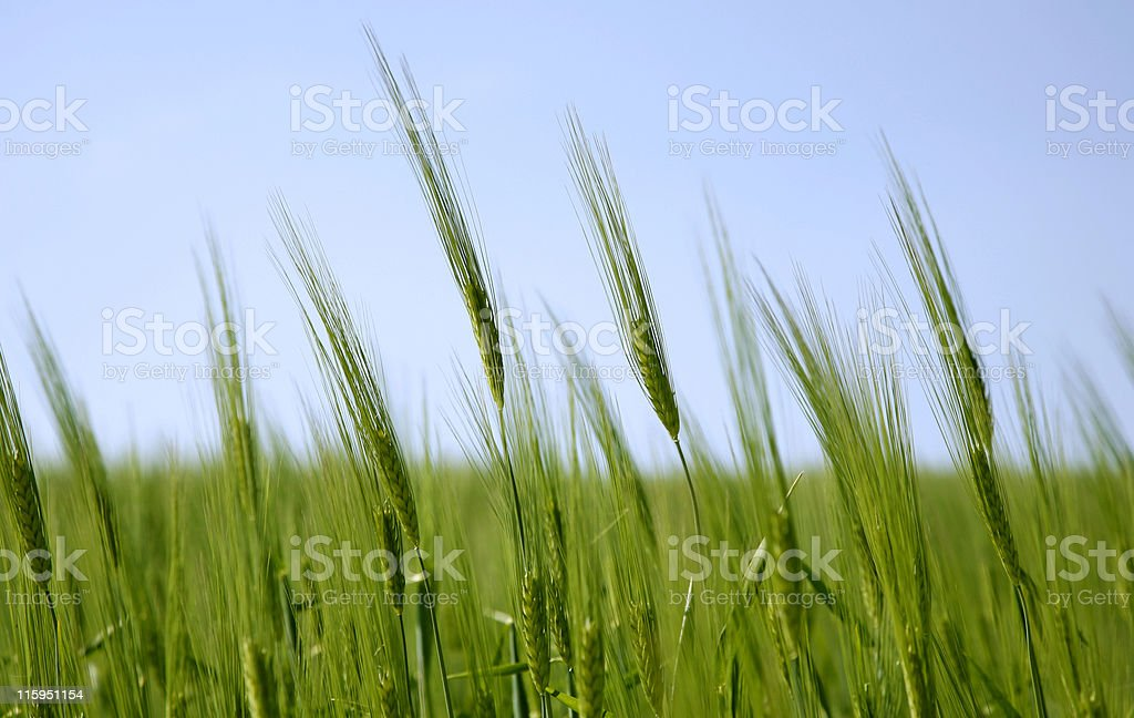 Crop field in the springtime stock photo