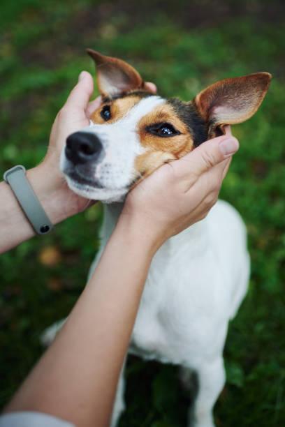 Crop hands petting dog stock photo