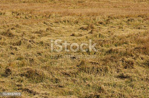 Insurance of agricultural crops. Destroyed wheat lying on the wheat field