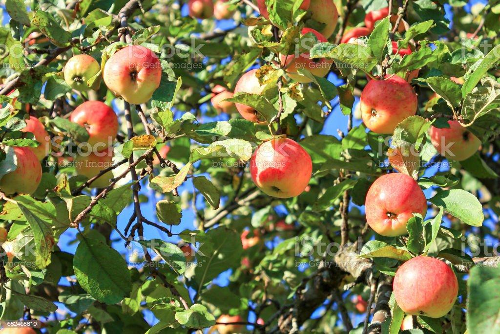 Kırmızı olgun elma bahçesinde bir elma ağacı üzerinde kırpma royalty-free stock photo