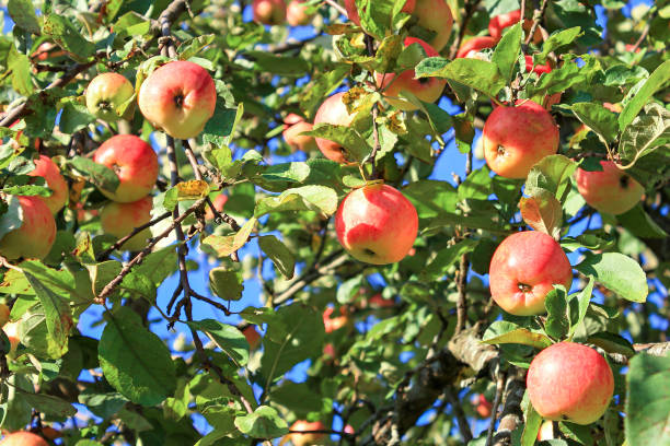 crop of red ripe apples on an apple-tree in garden - september stock photos and pictures