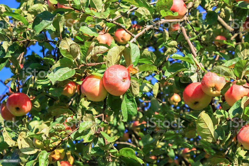 crop of red ripe apples on an apple-tree in garden Стоковые фото Стоковая фотография
