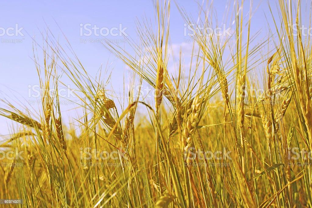 Crop of rye royalty-free stock photo