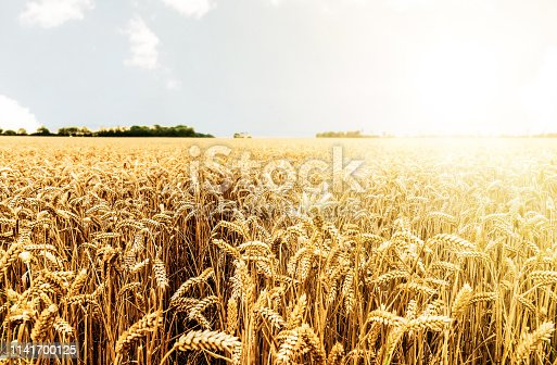 crop on field ready for harvesting against bright sun and clear sky