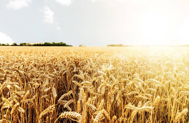 parlak güneşe karşı hasat için hazır alan üzerinde kırpma - buğday stok fotoğraflar ve resimler