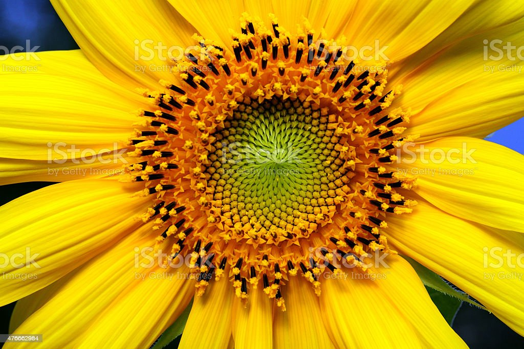 Cropped center of a sunflower stock photo