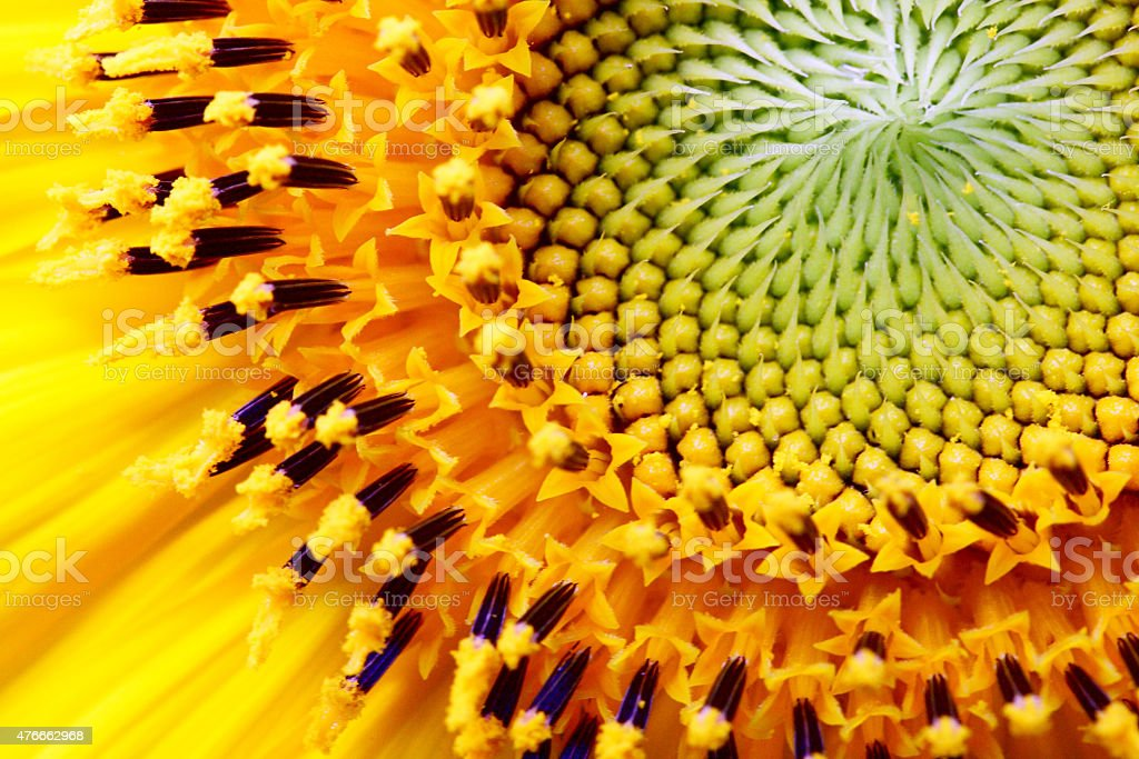 Cropped closeup of center of sunflower stock photo